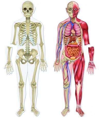 Cuerpo humano magnetico