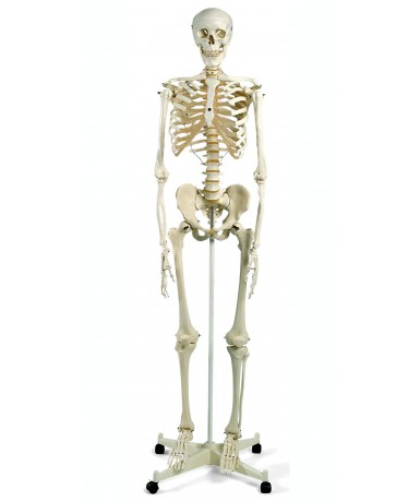 Esqueleto humano a10