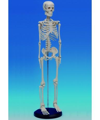 Esqueleto pequeño, 80 cm.